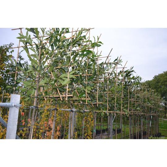 Leilaurier, Prunus Caucasica