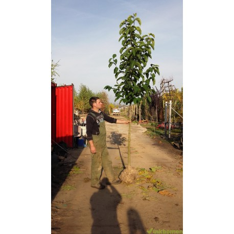 Magnolia Kobus, Beverboom