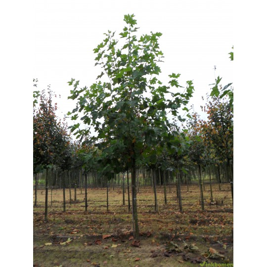 Platanus Acerifolia, Plataan