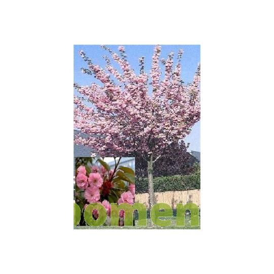 Bolkers, Prunus Royal Burgundy
