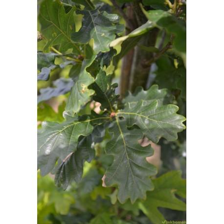 Wintereik, Quercus Petraea