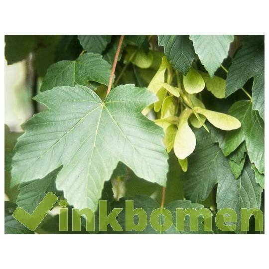 Acer pseudoplatanus, bergesdoorn
