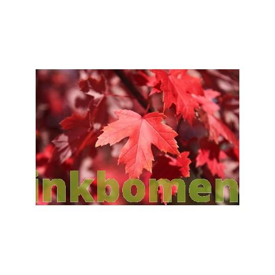 Acer Rubrum, rode esdoorn