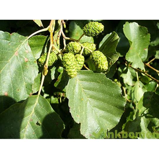 Alnus glutinosa, gewone els