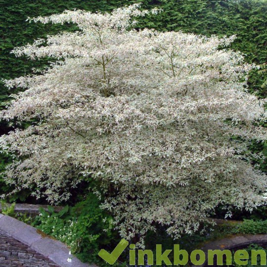 Cornus alternifolia, kornoelje