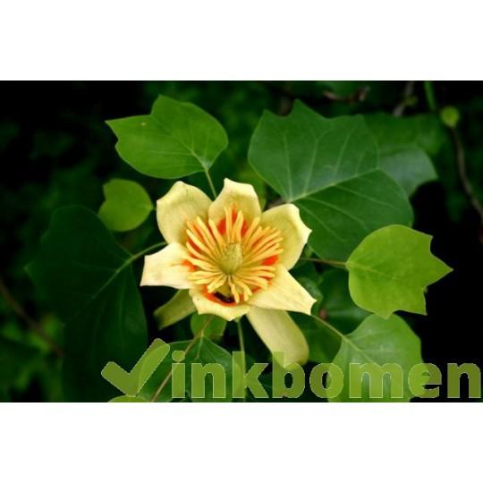 Liriodendron tulipifera, Amerikaanse tulpenboom