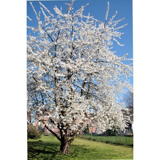 Prunus Avium, zoete kers