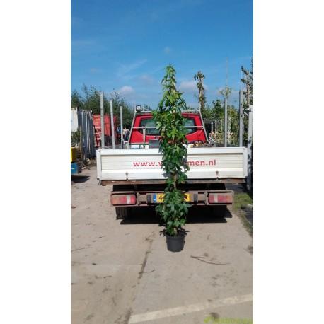 Zuilamberboom, Liquidambar Slender Silhouette