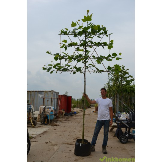 Leiplataan, Platanus hisp. Acerifolia