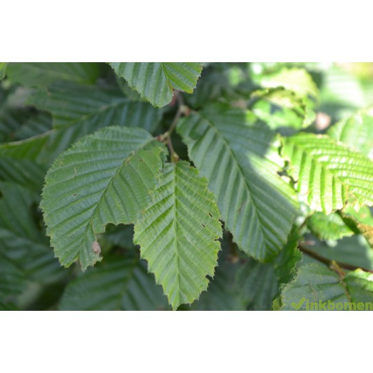 Carpinus Betulus, haagbeuk, haagplanten