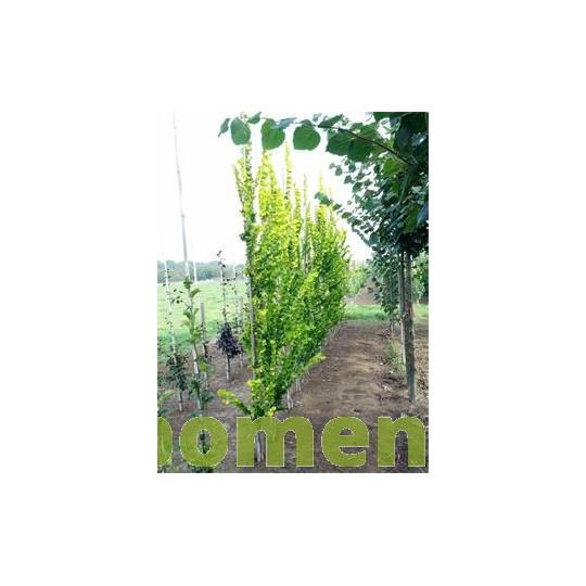 Ulmus hollandica Wredei, goudiep