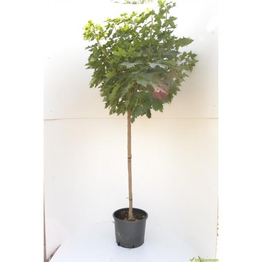 Bol esdoor, Acer plat. Globosum