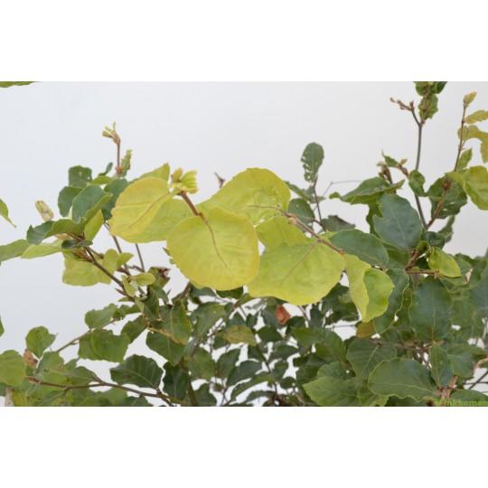 Groene beukenhaag, Fagus sylvatica