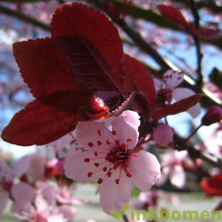 Prunus seracifera Nigra, Sierpruim