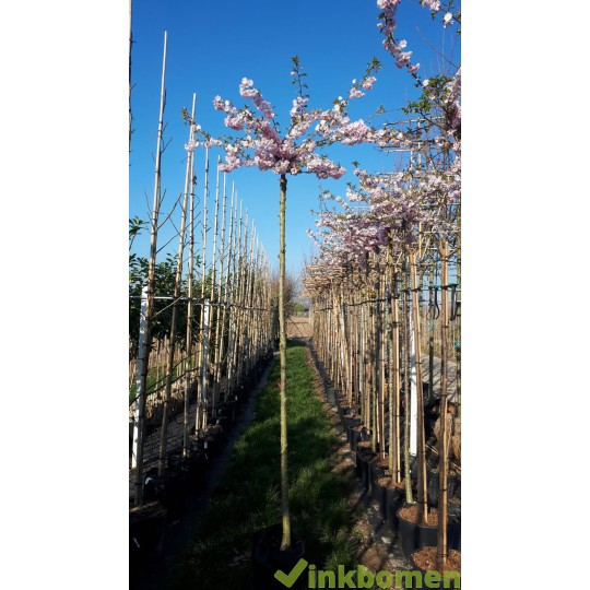 Bolkers, Prunus Autumnalis Rosea