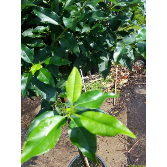 Portugese Laurierboom, Prunus Lusitanica Angustifolia