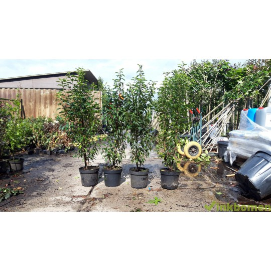 portugese-laurier-prunus-lusitanica-angustifolia-bladhouden-haaglanten