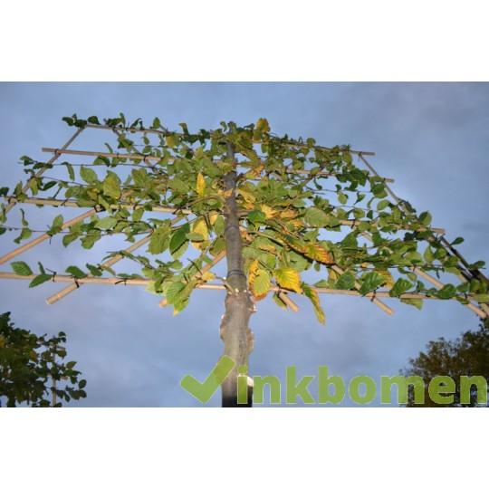 Leibeuk, Carpinus Betulus