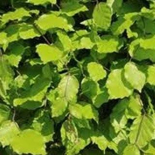 Beukenhaag-haagplanten-kwekerij